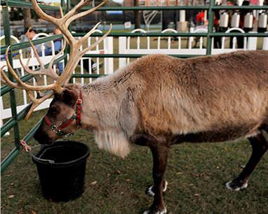 Reindeer eating